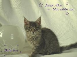 Foto 7 Zuchtaufgabe!!!!!!!!! Maine Coon Kitten