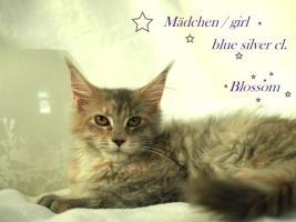 Foto 8 Zuchtaufgabe!!!!!!!!! Maine Coon Kitten