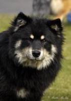 Zuchtrüde Lapphund Rasse zur Deckung