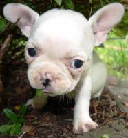 Zuckersüße Französisch Bulldog Welpen aus seriöser, deutscher Zucht