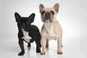 Foto 2 Zuckersüße Französisch Bulldog Welpen aus seriöser, deutscher Zucht
