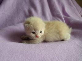 Foto 2 Zuckersüsse Highlander Kitten mit Stammbaum