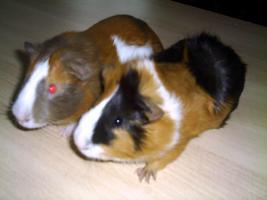Foto 2 Zuckersüße Meerschweinchen bei Alexandras -Meeris