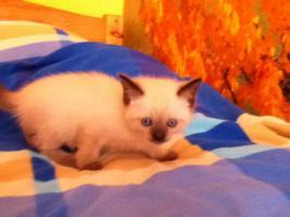 Foto 2 Zuckersüße Siam Katzenbabys suchen Dosenöffner