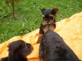 Foto 4 Zuckersüsse Yorkshire Terrier (weiblich 3 und 2 männlich)
