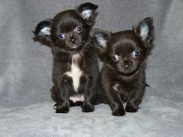 Zuckersüße mini Chihuahuas in Langhaar