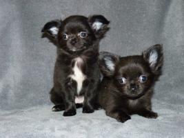 Foto 2 Zuckersüße mini Chihuahuas in Langhaar
