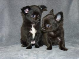 Foto 3 Zuckersüße mini Chihuahuas in Langhaar