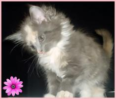 Foto 3 Zuckersüße reinrassige typvolle Maine Coon Kitten