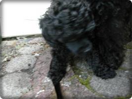 Foto 6 Zuckersüsse schwarze Zwergpudel Welpen