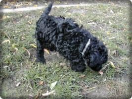 Foto 7 Zuckersüsse schwarze Zwergpudel Welpen