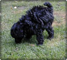Foto 8 Zuckersüsse schwarze Zwergpudel Welpen