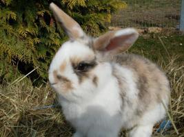 Foto 2 Zwei NHDs Zwergwidder Kaninchen