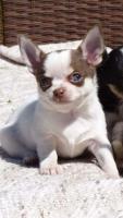 Zwei kleine Chihuahua Rüden