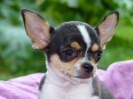 Foto 2 Zwei kleine Chihuahua Rüden