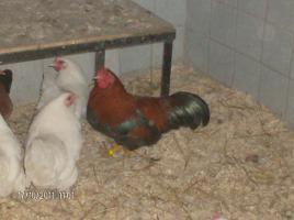 Foto 2 Zwerg Hühner Zu Verkaufen