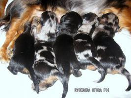Foto 2 Zwerg- & Kaninchenlanghaardackelwelpen mit FCI Pap.