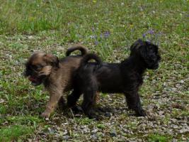 Foto 2 Zwerggriffon - Mops ferner Verwandte - ein idealer Hund für City-Wohnung
