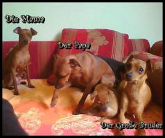 Foto 3 Zwergpinscher Welpen suchen neues Zuhause!