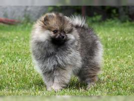 Zwergspitz/Pomeranian Hündin 11 Wochen sucht noch ein schönes Zuhause