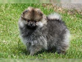 Foto 2 Zwergspitz/Pomeranian Hündin 11 Wochen sucht noch ein schönes Zuhause