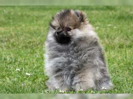 Foto 3 Zwergspitz/Pomeranian Hündin 11 Wochen sucht noch ein schönes Zuhause