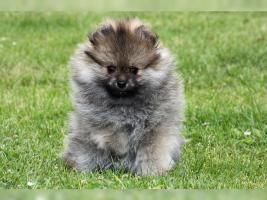 Foto 4 Zwergspitz/Pomeranian Hündin 11 Wochen sucht noch ein schönes Zuhause