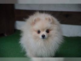 Foto 5 Zwergspitz/Pomeranian Hündin 11 Wochen sucht noch ein schönes Zuhause