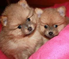 Zwergspitz Pomeranian Welpen zu verkaufen!