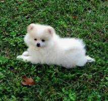 Foto 2 Zwergspitz Pomeranian Welpen zu verkaufen!