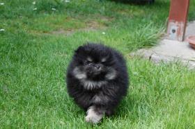 Foto 2 Zwergspitz /  Pomeranian