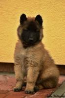 Zwinger bietet Belgischer Schäferhund Tervueren mit Papiere an