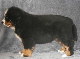 Foto 3 Zwinger bietet Berner Sennenhund Welpen mit Papiere
