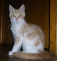 Foto 3 adorable chatons maine coon disponible