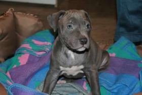 american staffordshire terrier blue nose