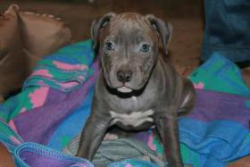Foto 3 american staffordshire terrier blue nose