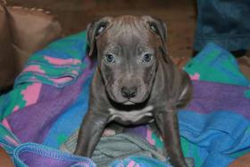 Foto 4 american staffordshire terrier blue nose