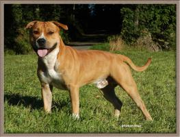 american stafforshire terrier rüde