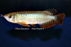 Foto 3 asiatische Drachenfische