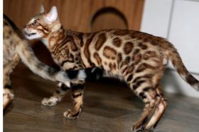 bengal Kitten der Extraklasse - gigantische Kontraste