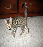 Foto 4 bengal Kitten der Extraklasse - gigantische Kontraste