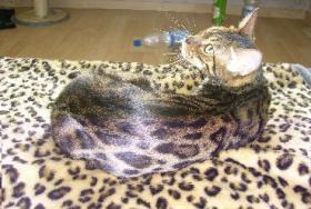 Foto 6 bengal Kitten der Extraklasse - gigantische Kontraste