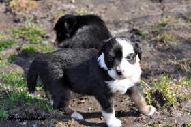Foto 2 bezaubernde Mini Australian Shepherd Welpen