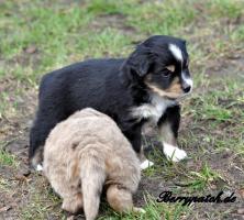 Foto 5 bezaubernde Mini Australian Shepherd Welpen