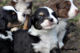 Foto 6 bezaubernde Mini Australian Shepherd Welpen