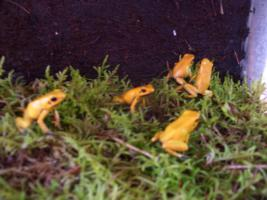 Foto 4 biete Phyllobates terribilis orange NZ