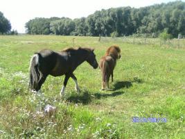 Foto 3 bildschöner ponyhengst