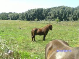 Foto 4 bildschöner ponyhengst