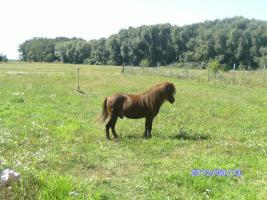 Foto 5 bildschöner ponyhengst