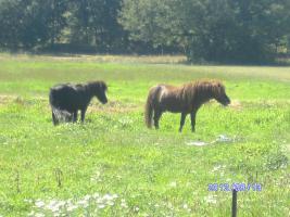 Foto 6 bildschöner ponyhengst
